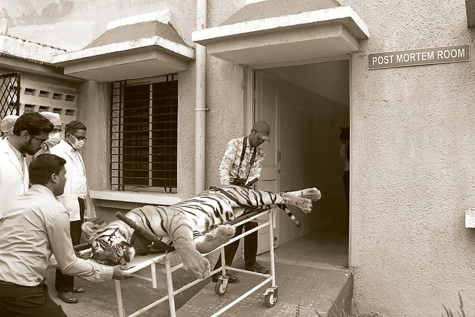 The hunting of the tigress Avni displayed all that was wrong with tiger tracking