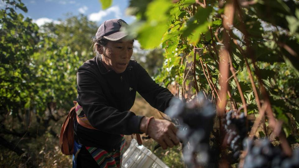 "A farmer harvests grapes at the Ao Yun vineyards. While wine consumption is soaring in China, it is not known as a major producer, but French luxury giant Moet Hennessy has bet on this remote location to show the Asian country can produce a first-class bottle of red. It took four years for the company to find the ideal spot and the result was Ao Yun, Chinese for ""flying above the clouds"", which debuted in 2013. (Fred Dufour / AFP)"