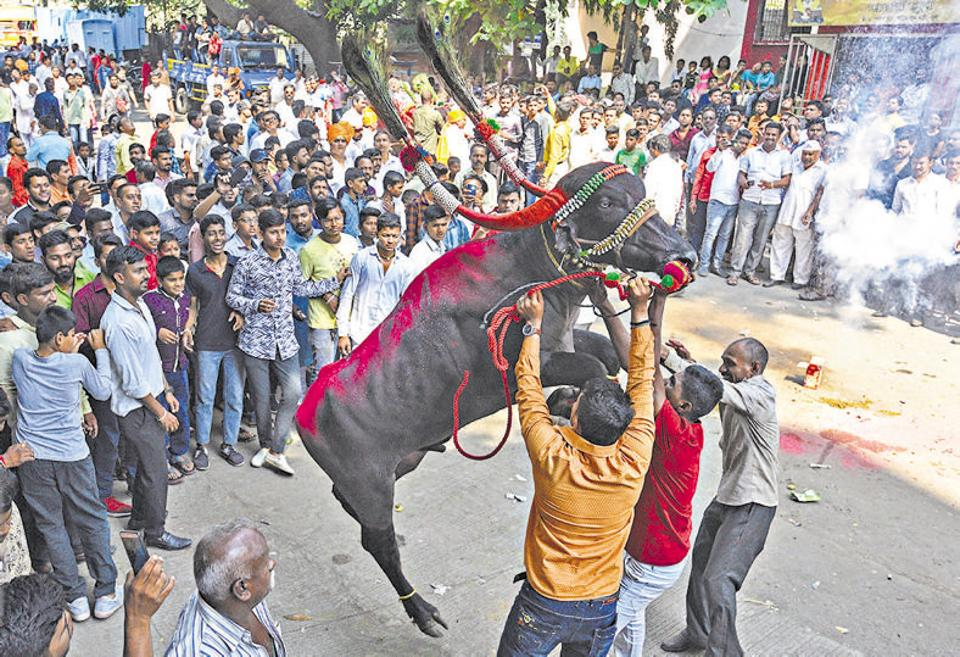 Men try to tame a decorated buffalo at Ganesh peth, Dudh Bhatti during 'Sagar', a tradition followed by the Gawli community on the occasion of Bhau Beej/Bhai Dooj­. It is a festival similar to Raksha Bandhan. (Pratham Gokhale/HT Photo)