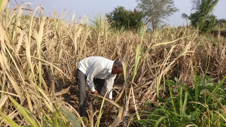 Crops, plantations, even livestock in 151 districts, or slightly more than one-fifth of the total districts in India, are susceptible to the impact of climate change.