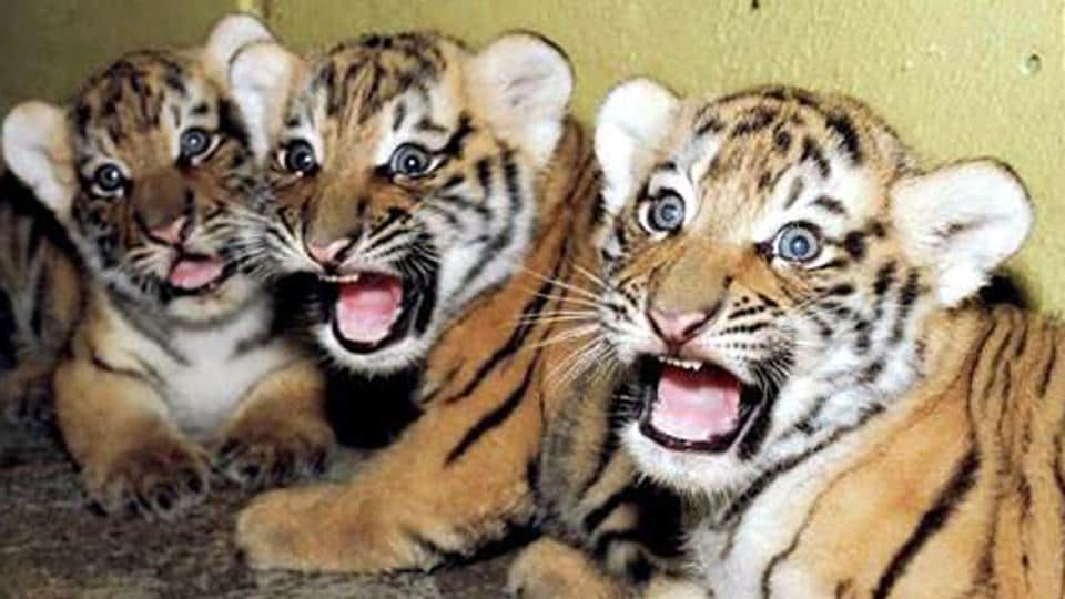 Three tiger cubs run over by train in Maharashtra
