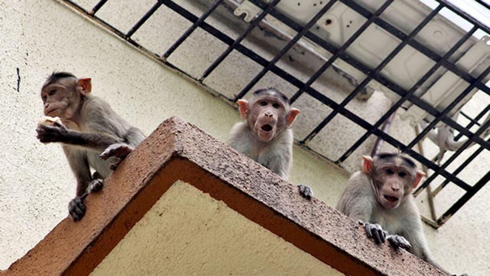Himachal Pradesh has sterilised at least 1.4 million monkeys since 2006, resulting in a fall in their numbers from about 3.2 million in 2004 to about 2.1 million in 2015, but the programme has had mixed results and the numbers themselves aren't authoritative