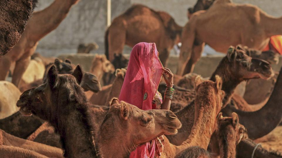 A woman in her traditional attire walks among a herd of camel during the annual Pushkar Camel Fair 2018, in Pushkar, Rajasthan. (PTI)