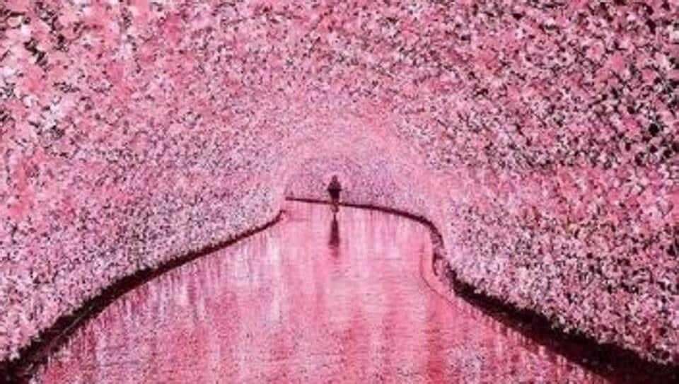 Cherry Blossom,Travel,Japan
