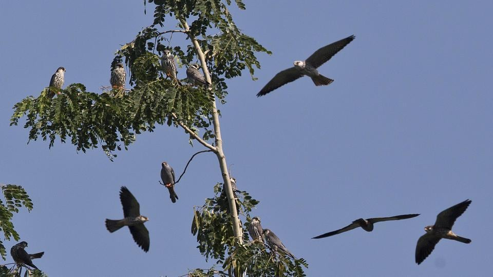 Amur Falcons fly over the Doyang reservoir at Pangti village in Wokha district, in Nagaland. The 8,000 residents of Pangti are busy hosting millions of the migratory falcons from Siberia who roost by a massive reservoir before taking off for their final destinations — Somalia, Kenya and South Africa — traversing up to 22,000 kilometers. (Anupam Nath / AP)