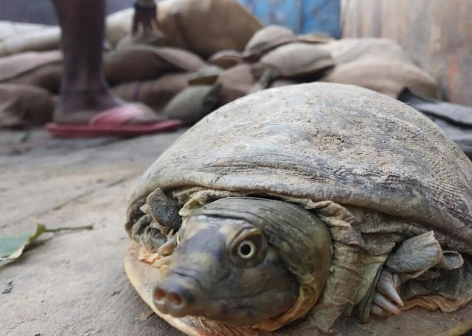 These turtles were not collected by the smugglers in a day, but over weeks or months, and were kept in poor conditions, said those taking care of them at Kukrail.