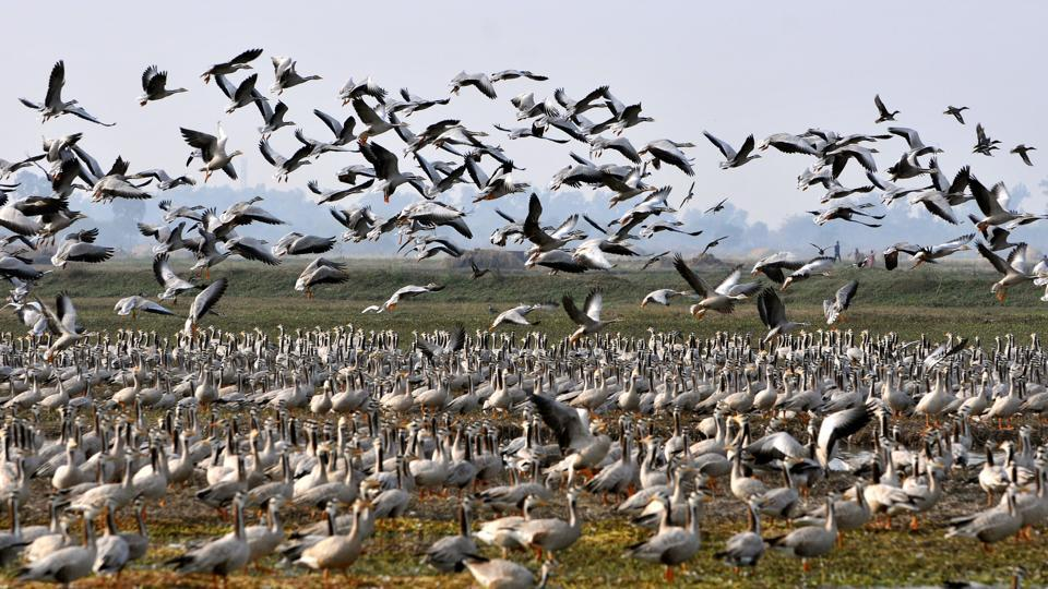 Migratory birds take off at the Gharana wetland near the India-Pakistan international border, Ranbir Singh Pura, about 35 km from Jammu, December 20, 2017