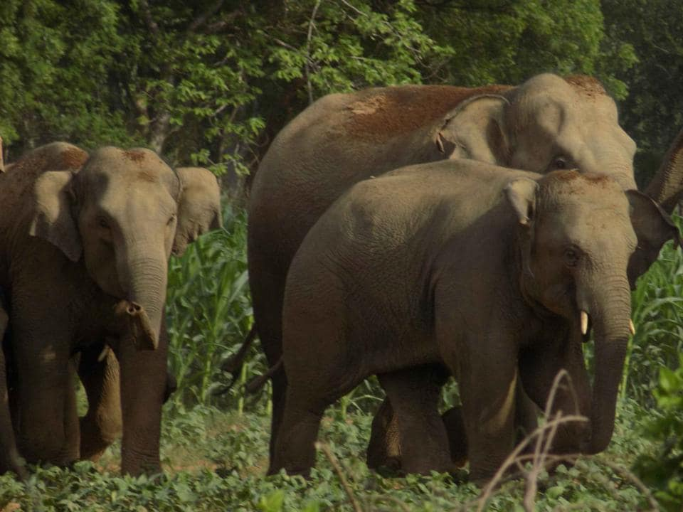 Ranchi, India - FILE PIX : Hird of wild elephant at Sonahatu in Ranchi. PHOTO FOR REPRESENTATIONAL PURPOSE