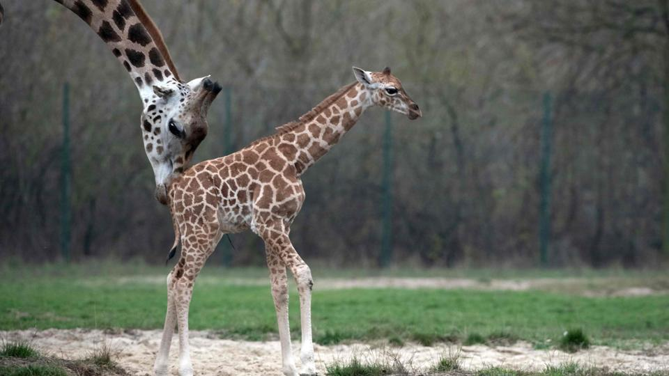 Newborn giraffe Ella and her mother Amalka at their enclosure at Berlin's Tierpark zoo. (Paul Zinken / dpa / AFP)