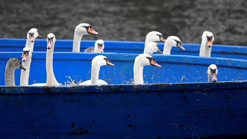 Swans are seen in a boat after they were caught at Hamburg's inner city lake Alster by Olaf Niess and his team to bring them in their winter quarters in Hamburg, Germany. (Fabian Bimmer / REUTERS)