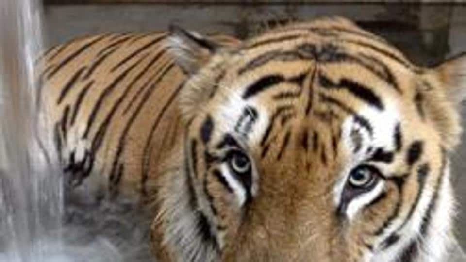 Over 20 people have lost their lives in tiger attacks near the PTR since last year