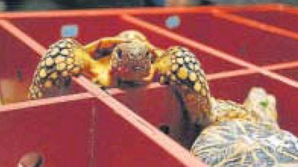Smuggled tortoises being brought back to India, will be radio-tagged