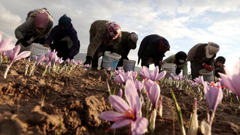 Iranian women pluck saffron flowers at a field in Khorasan province. The labourers edged their way across a field of bright purple flowers gathering up the world's most expensive spice, a bounty that makes this dusty corner of Iran a crucial part of global cuisine. (Atta Kenare / AFP)