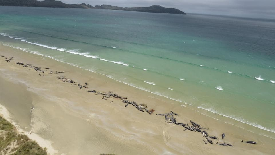 Dead pilot whales on a remote beach on Stewart Island in the far south of New Zealand. Up to 145 pilot whales died in a mass stranding on a remote part of the small New Zealand island. (New Zealand Department of Conservation Handout / AFP)