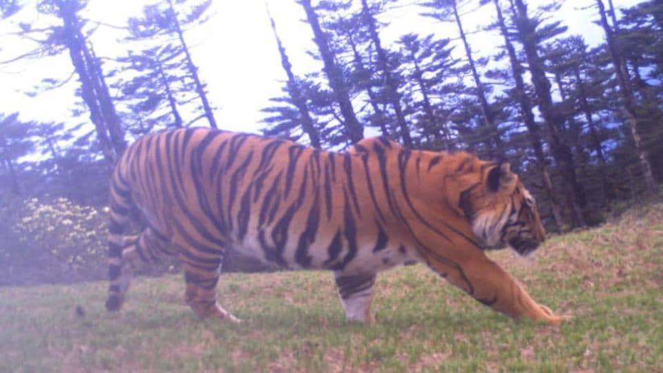 Researchers have found a promising tiger population in the upper reaches of Dibang Valley in Arunachal Pradesh.