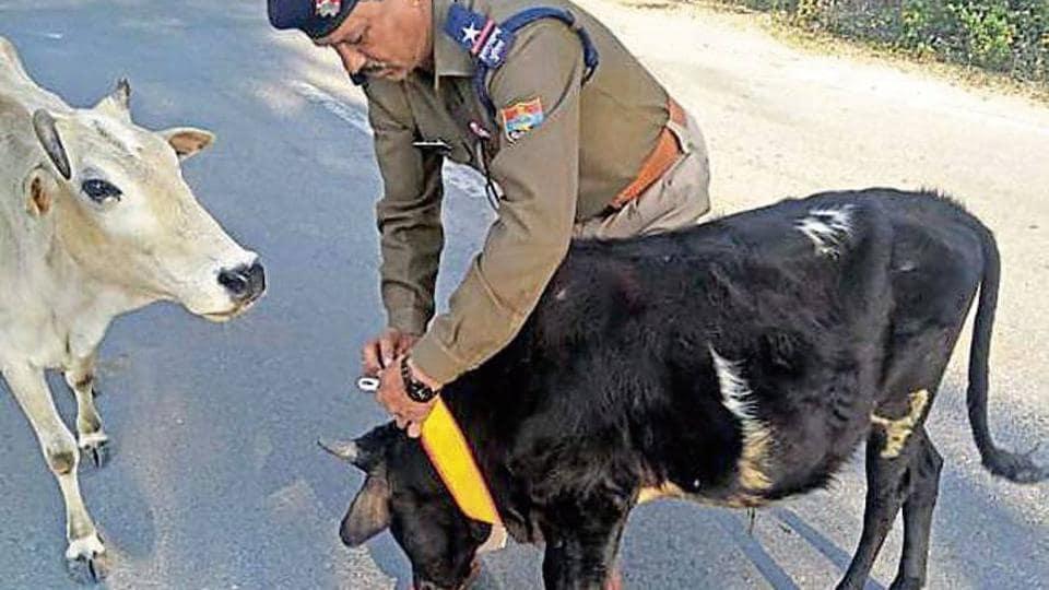 A policeman tying a radium collar around a cow's neck .