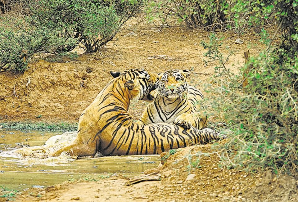 A tiger couple fondle by rubbing heads, cheeks and the flanks of their bodies, as the tigress encourages the tiger to mate.