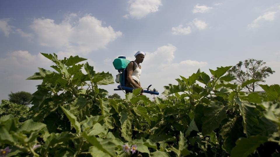 Maharashtra,farmer,brinjal