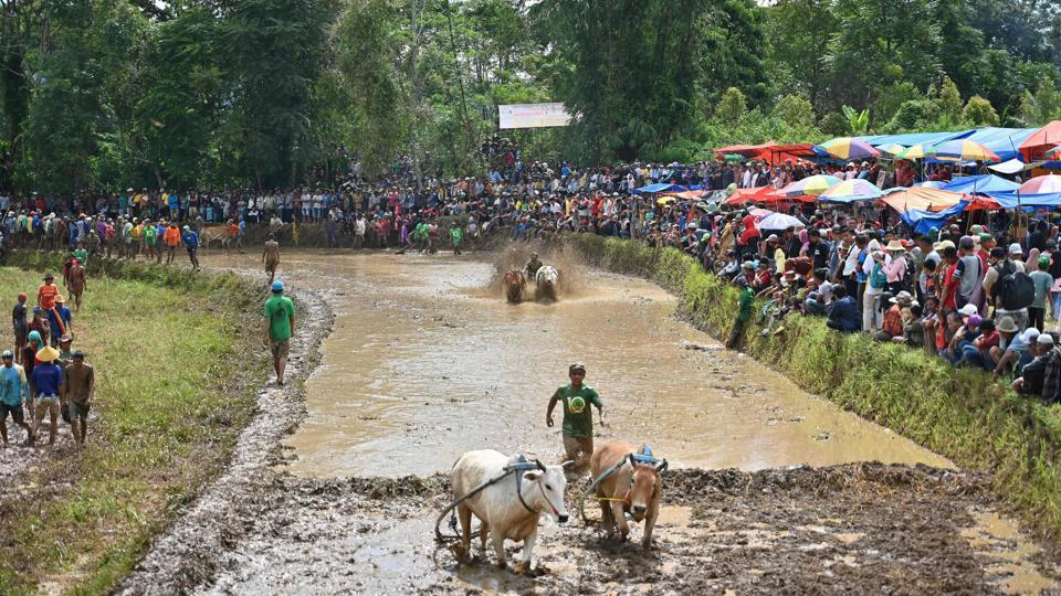The centuries-old races once heralded the end of rice harvesting season when the emerald paddies had been cleared. Nowadays, hundreds turn up to cheer on fearless jockeys who can net a bull worth as much as $1,050 if they win a month-end tournament -- a princely prize in a country where many live on a few dollars a day. (Adek Berry / AFP)