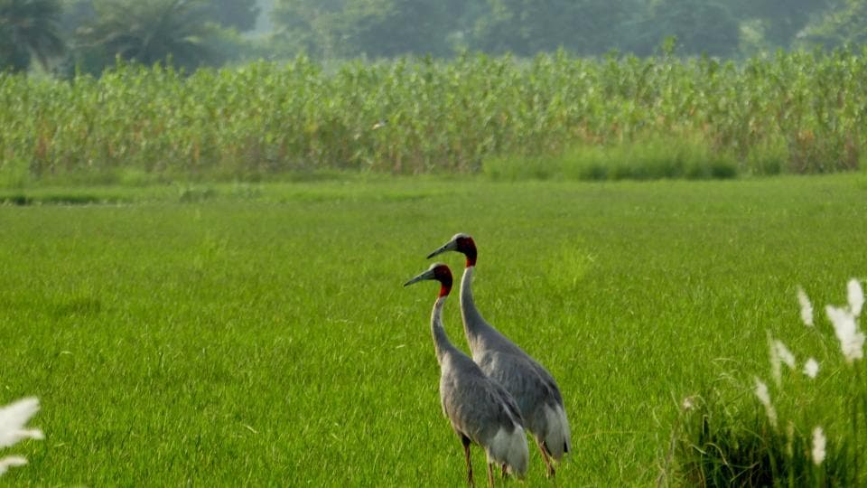 A pair of sarus cranes near Noida. The forest department is determining the number of sarus cranes in Jewar. Officials said that Surajpur and Dhanauri wetlands host over 200 sarus cranes.