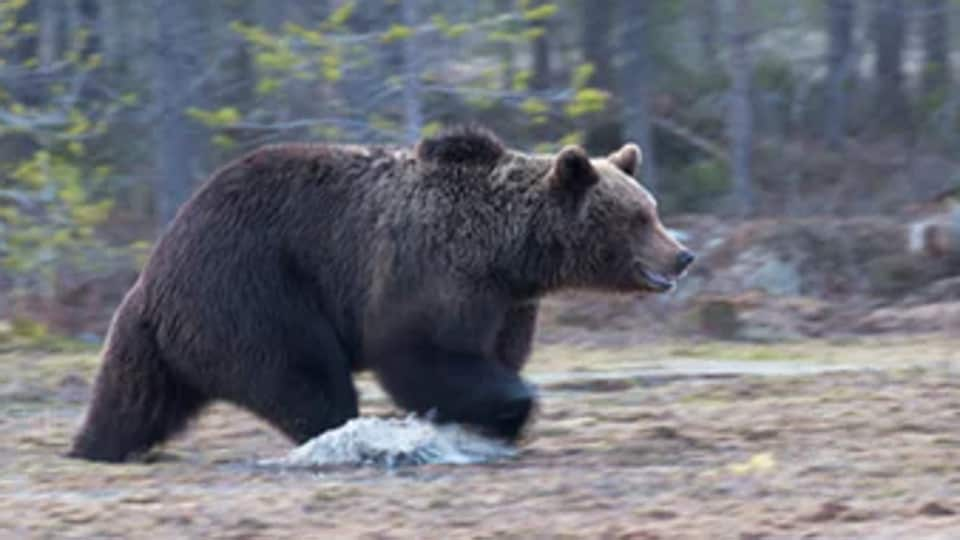 bear,woman punches bear,dog saves woman from bear