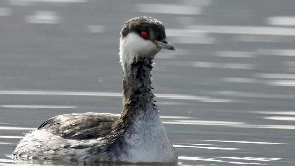 The horned grebe, a rare winter bird, was spotted at Bhaniyana wetland in Jodhpur.