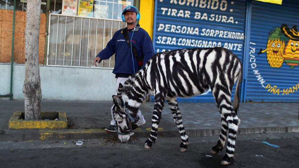 A man stands next to his donkey dyed like a zebra, in Tijuana, Mexico. (Mohammed Salem / REUTERS)