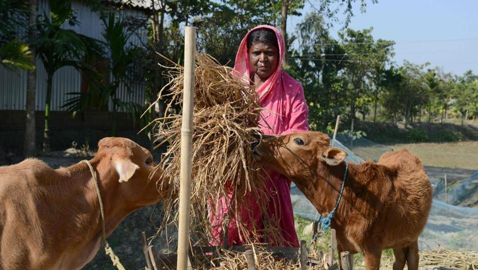 """Yarjan Nesa, 60, feeds cows near her house at Karaibil village in Kamrup district, Assam. Her husband Nur Mohammed can barely sleep for worrying that his wife might soon be made stateless, put in a detention camp and deported. """"We are genuine Indian citizens,"""" said Mohammed, 66, his voice low and quivering. (Biju Boro / AFP)"""