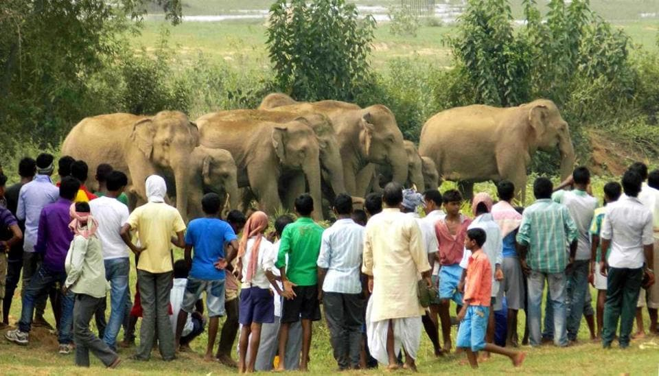Elephants will stubbornly follow their ancient migratory routes, knowing that it is one way to keep themselves from bankrupting a single habitat. Put up a tea garden or coffee plantation in their way – and they will simply go through it. Traumatise them with crackers and fire, and they will seek refuge in the nearest village bar – and then really run amuck