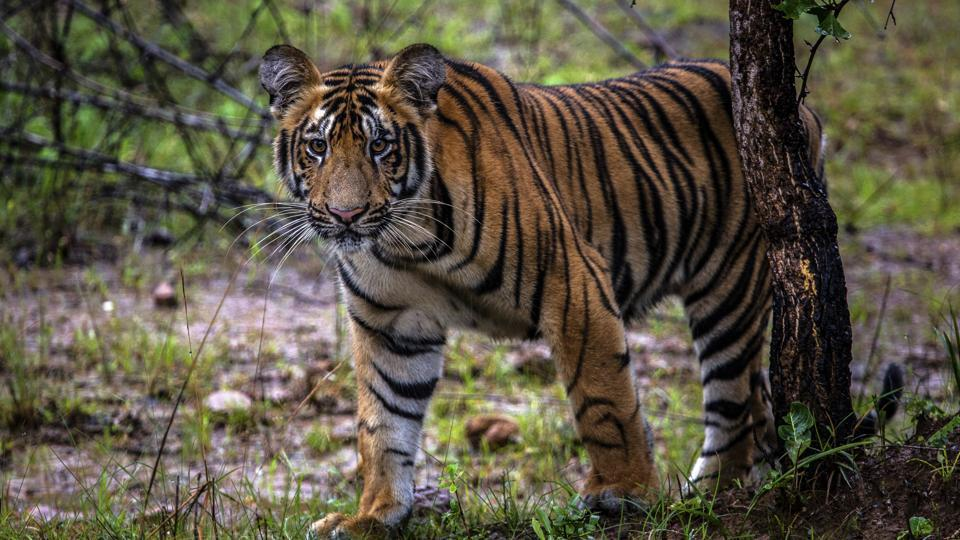 The animist tribe, who consider tigers their elder brothers, fears that declaring Dibang Wildlife Sanctuary (DWS) as a tiger reserve would impact their livelihood.