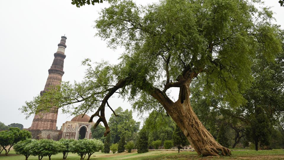 Leaning like the Whomping Willow from the Harry Potter series, the Salvadora tree in the Qutub Minar complex gives the Minar quite the fight for attention. HT featured a series on the iconic trees of Delhi, underscoring their importance for the city. The series was launched June 26, when the plan to axe 14,000 trees for redeveloping government housing projects in south Delhi made headlines.  (Burhaan Kinu / HT Photo)