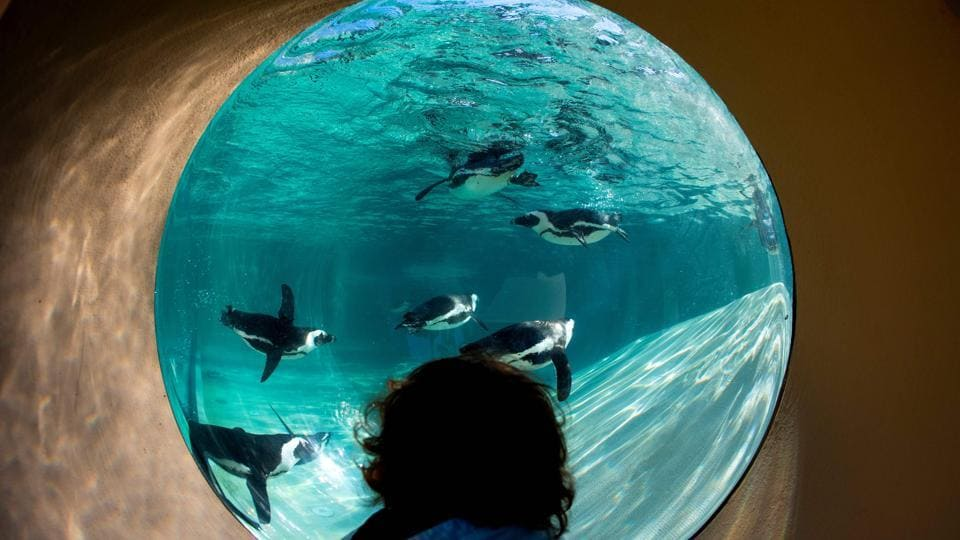 A child looks at African penguins during the opening of a new area reserved for them at bioparco in Rome, Italy. (Tiziani Fabi / AFP)