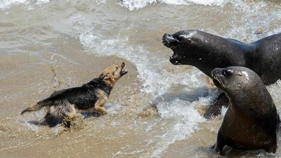 A dog barks at sea lions in Valparaiso, Chile. The hunting of sea lions is prohibited in Chile until 2021, but their proliferation in the last decades has become a huge problem for fishermen, since they attack their nets and rob the fish, putting their work in risk. (Martin Bernetti / AFP)
