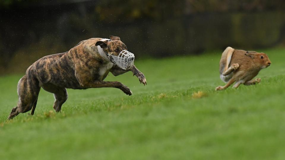 A greyhound chases a hare during a hare coursing meeting in Abbeyfeale, Ireland. (Clodagh Kilcoyne / REUTERS)