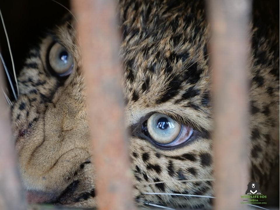 Unnatural deaths of leopards in India increased from 118 in 2014 to 159 in 2017