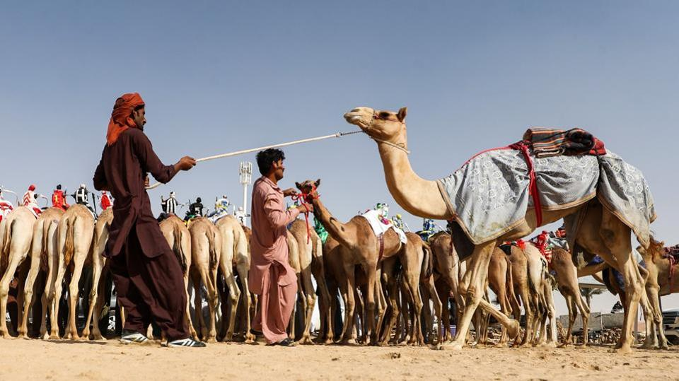 Handlers pull camels ahead of a race during the festival. The festival draws completion in categories involving cars and motorbikes along with traditional falcon, camel and horse races. (Karim Sahib / AFP)