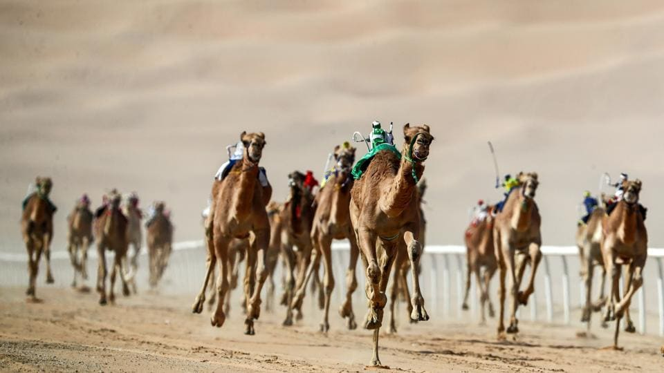 Robotic jockeys control camels during the festival. The Liwa Moreeb Dune Festival offers a week-long celebration of UAE heritage with competitions and activities including bike riding and camping in the desert of the Moreeb Dune. (Karim Sahib / AFP)