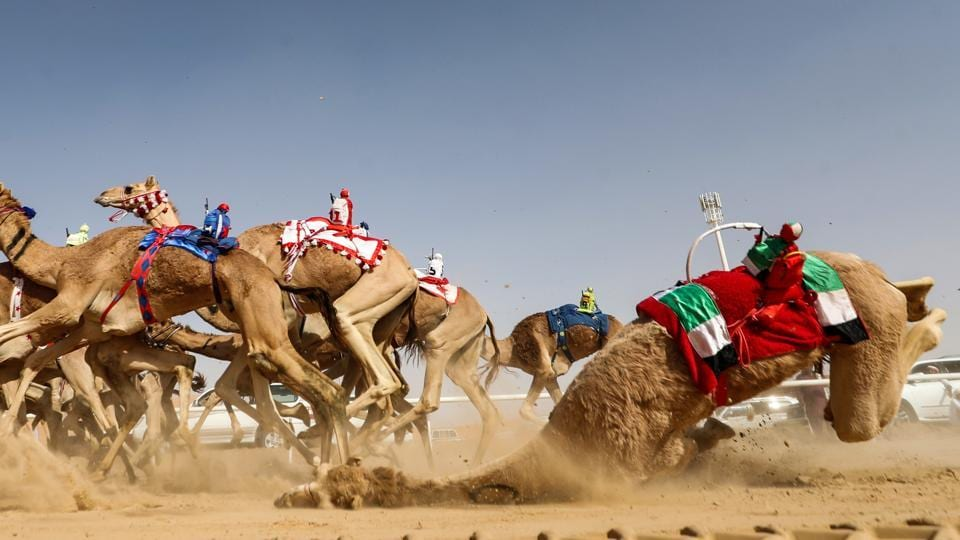 A camel controlled by a robotic jockey stumbles and falls during a race at the festival. (Karim Sahib / AFP)