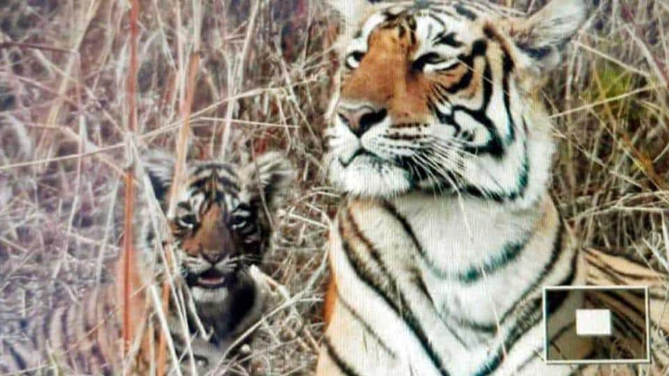 Ranthambore tigress T-84 with one of her two cubs.