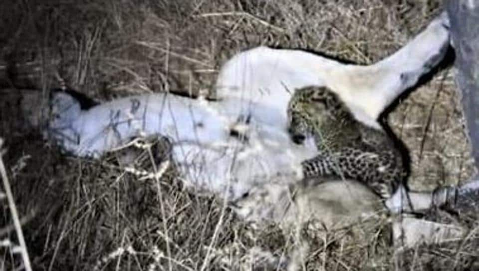 This unusual bonding between a lioness and a leopard cub was first spotted by forest staff around six days ago.