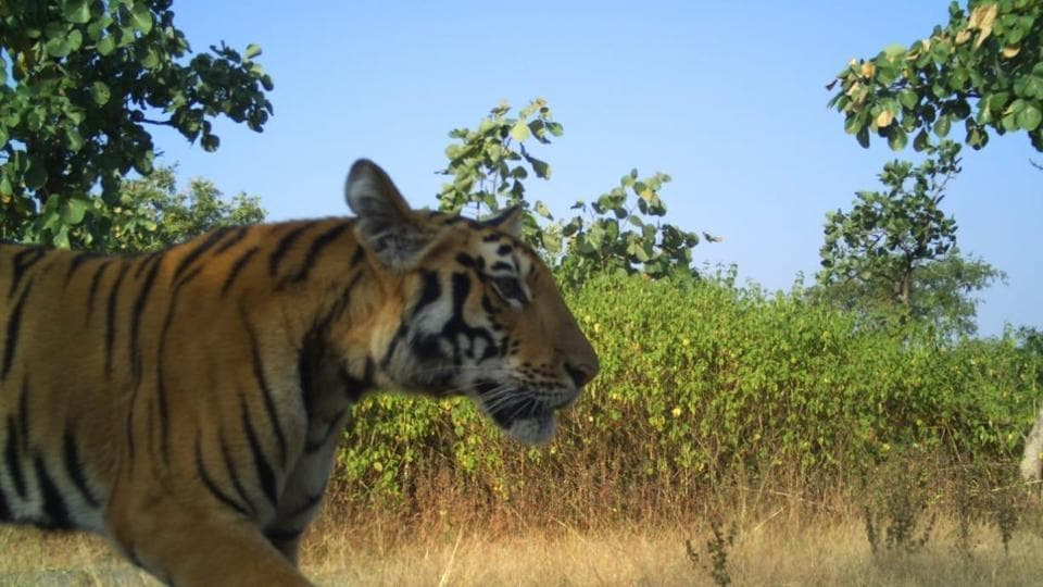 The cub's mother T-1, also known as Avni, was shot dead on November 2, 2018, after allegations of the tigress being a man-eater surfaced.
