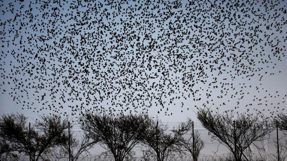 When the winters are harsh, the starlings in Europe migrate south westwards or south eastwards to warmer climes. (Ronen Zvulun / REUTERS)