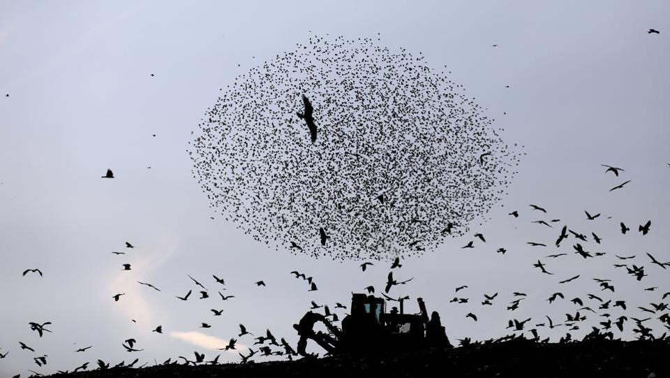 A digger is silhouetted as a murmuration of migrating starlings among black kites flies above it near the city of Rahat, southern Israel. (Ronen Zvulun / REUTERS)