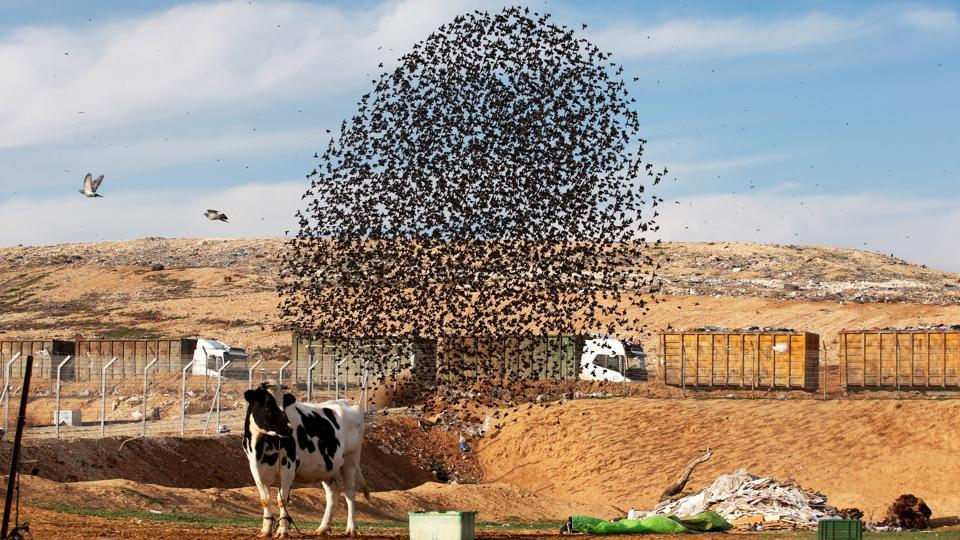 A cow stands nearby as a murmuration forms near the city of Rahat, southern Israel. Native to Asia, Europe, northern Australia, Africa and the islands of the tropical Pacific, starlings are small to medium-sized birds belonging to the Sturnidae family. (Ronen Zvulun / REUTERS)