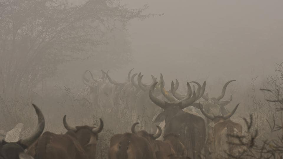A herd of cattle is spotted out grazing on a foggy morning, near Dwarka, New Delhi. (Vipin Kumar / HT Photo)