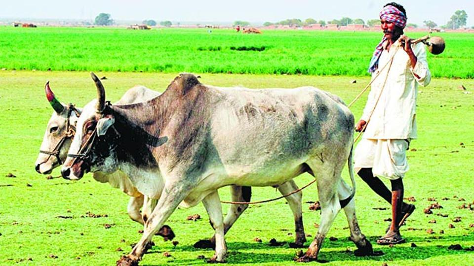 A farmer in Kota engaged in the cultivation of Kharif crops.