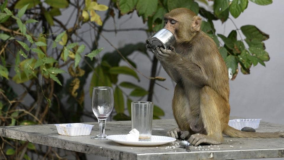A macaque monkey has a go at leftovers atop a table at Press Club in New Delhi. (Biplov Bhuyan / HT Photo)