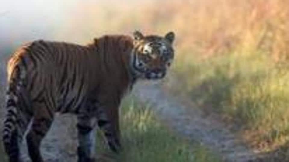 Tigers,Tiger sightings,Tigers in India