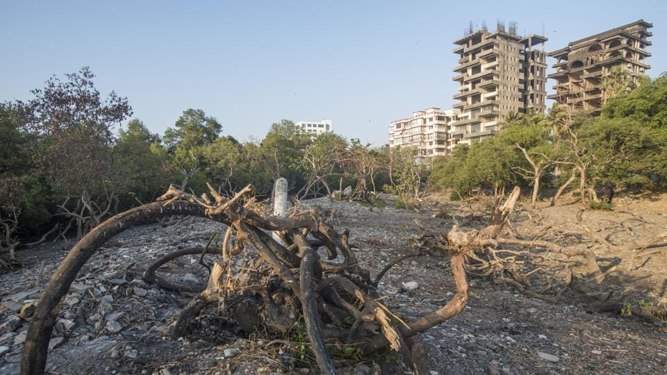 Dried up mangroves at Carter Road, Bandra in Mumbai on Saturday.