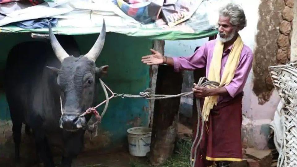 Palamedu Jalikattu 2019: SR Ramar, a 50-year-old farmer with his prized bull Arulu, which will take part in the Jallikattu event in Aviniapuram.